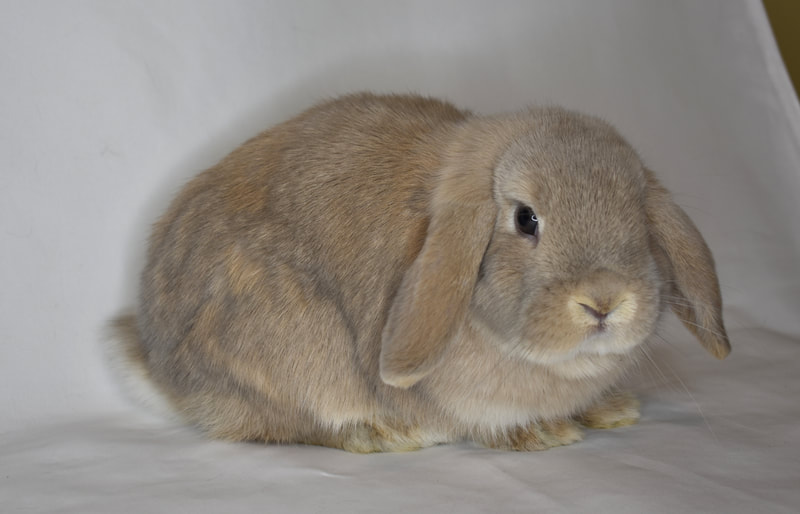 Two Holland lop baby kits