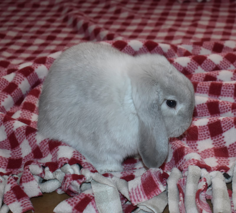 Four Holland Lop babies, harlequin, tri-color, and magpie